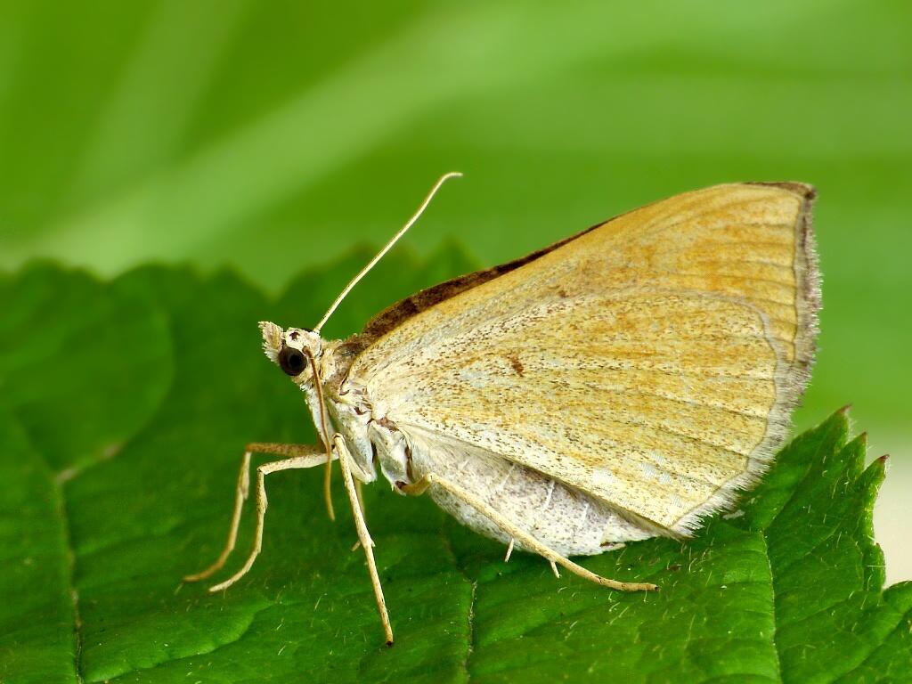 Scotopteryx_chenopodiata_1601B.jpg
