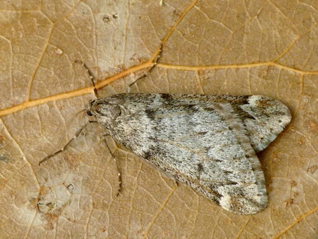 Alsophila_aescularia_1304.jpg